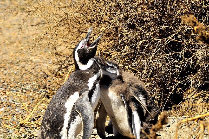 pichones pinguinos chubut