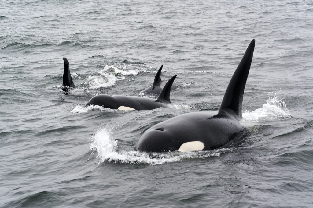 Imagen de Orcas